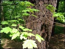 Trees in Chapel Hill