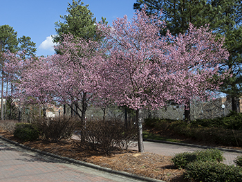 Spring_Trees_350